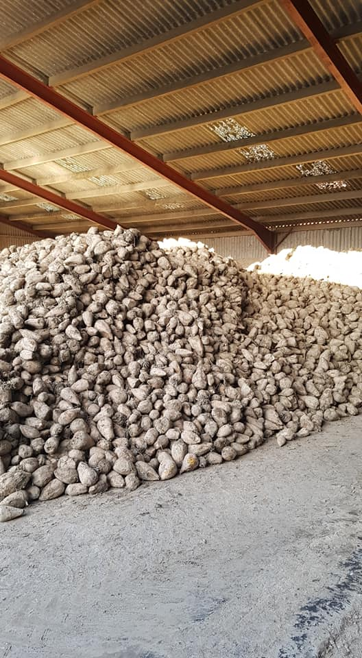 Fodder Beet available for collection or bulk delivered to you, contact us for more information.